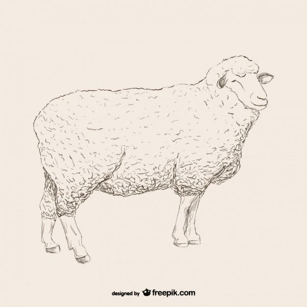 Vektörel Sketch Koyun Çizimi